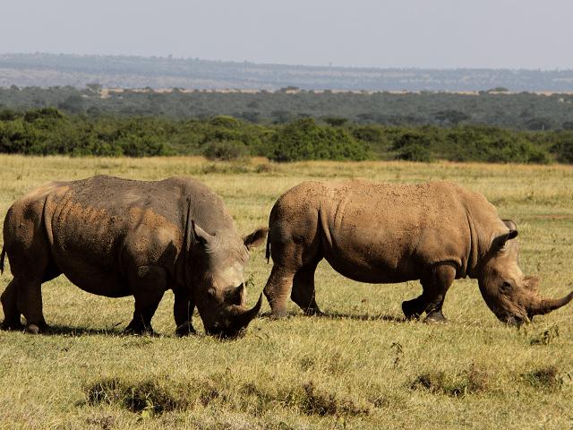 Dva nosorožce v národnom parku Tsavo