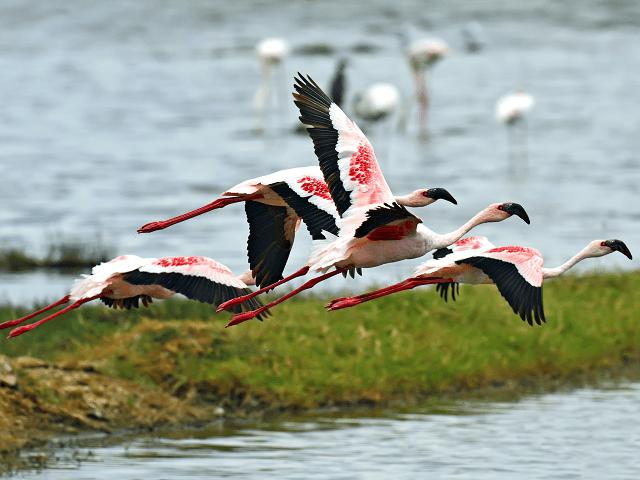 Letiace plameniaky, jazero Nakuru