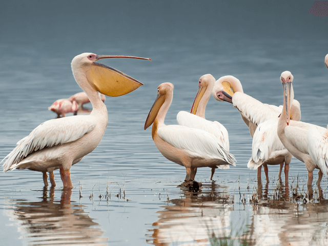 Pelikány na jazere Nakuru