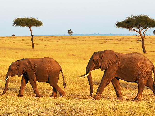 Slon africký v národnom parku Masai Mara, Keňa