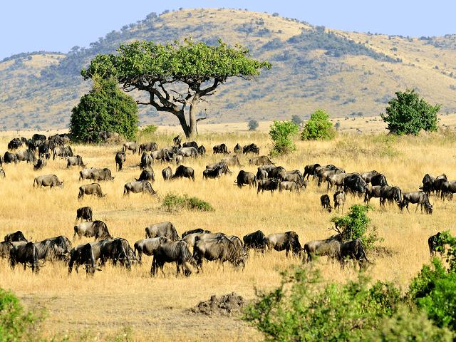 Stádo pakoní v národnom parku Masai Mara, Keňa