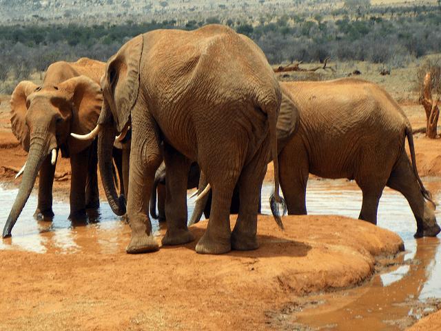 Stádo slonov v parku Tsavo