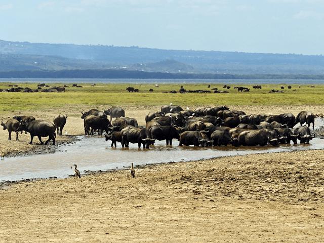 Vodné byvoly, pri jazere Nakuru