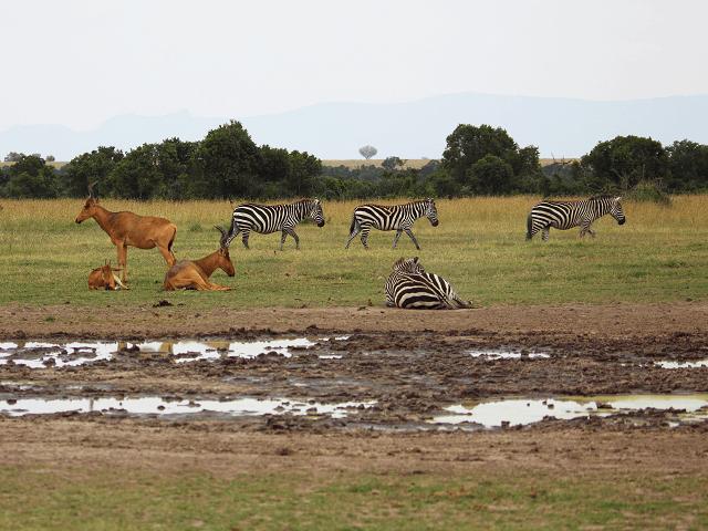 Zebry a antilopy v národnom parku Tsavo, Keňa