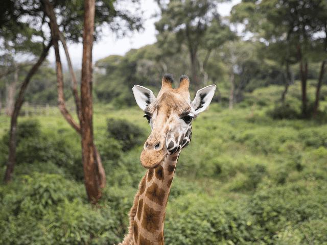 Žirafa v parku, Nairobi, Keňa