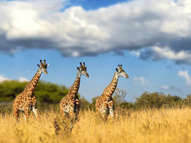 Žirafy v národnom parku Masai Mara, Keňa